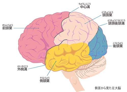 大脳 ウェルニッケ中枢
