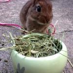 ミニウサギを飼って分かった!家族が増えることのメリットなど