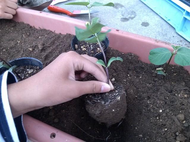 枝豆 苗 植える