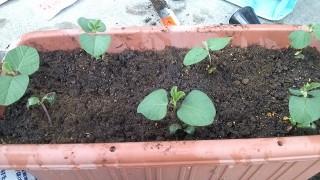 プランター枝豆の育て方3 -苗を切らないもので比較実験