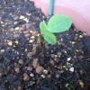 プランター枝豆の育て方4 「カットした苗の12日目の経過観察」