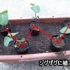 初心者OK!プランター枝豆の育て方2「苗をプランターへ移す」