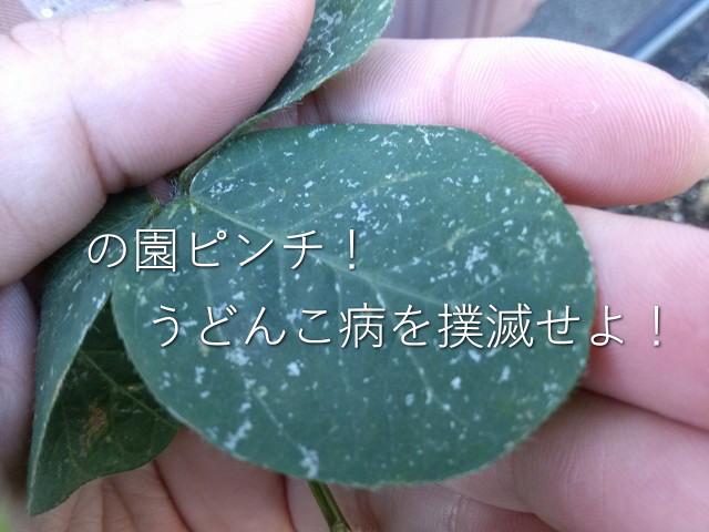 枝豆 うどんこ病