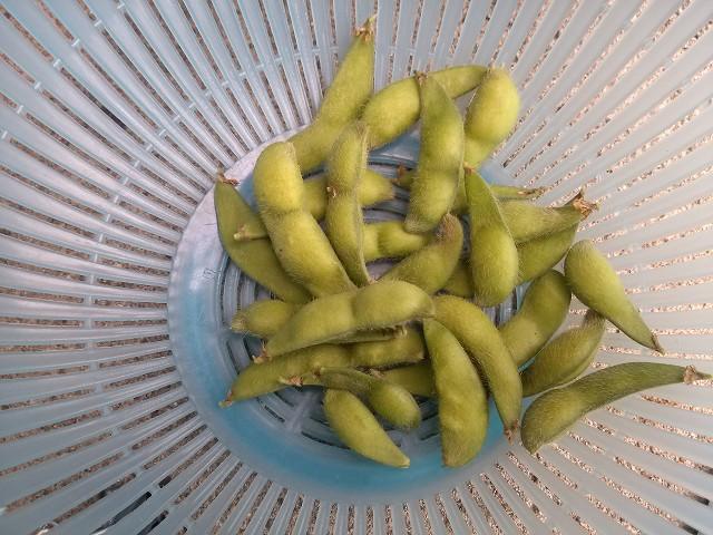 収穫 枝豆