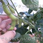 プランター枝豆の栽培84日目。収穫2回目を記録するよ。