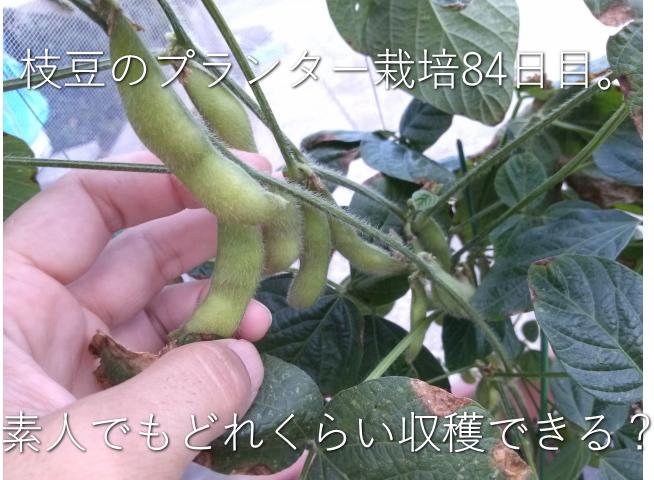 プランター 枝豆 収穫