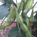 プランター枝豆栽培の3回目(最終)の収穫と所感をまとめるよ