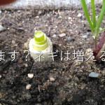スーパーのネギをプランターに植えると収穫できますよ