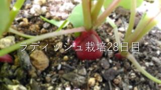 超カンタン!「ラディッシュ栽培」28日目をまとめるよ