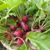 ラディッシュ(二十日大根)の葉っぱを冷蔵保管する方法